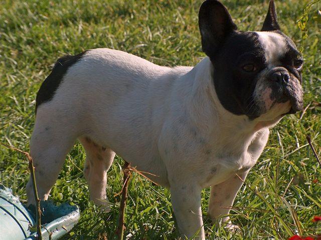 Le Mie Passioni Il Mio Bulldog Francese Le Immersioni La