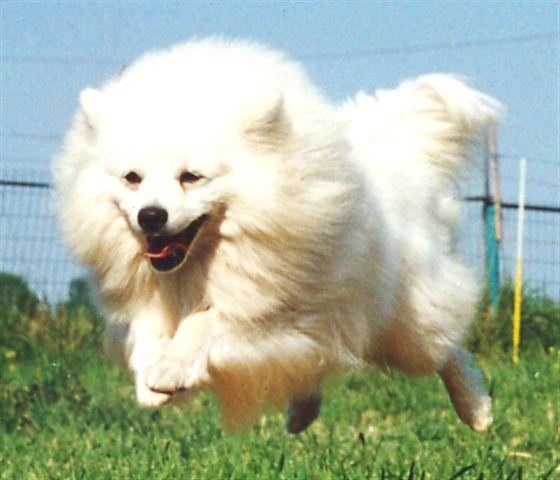 Cani gatti e co il cane descrizione della razza for Cane volpino