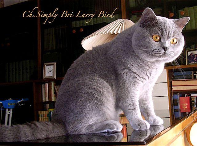 Cani Gatti E Co Il Gatto Descrizione Della Razza British Shorthair