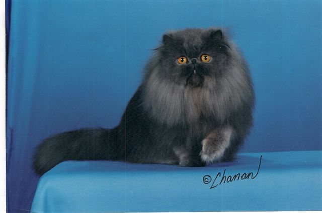 Cani Gatti E Co Il Gatto Descrizione Della Razza Persiano